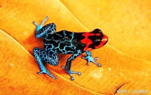 世界上最毒的动物排行,箭毒蛙最毒
