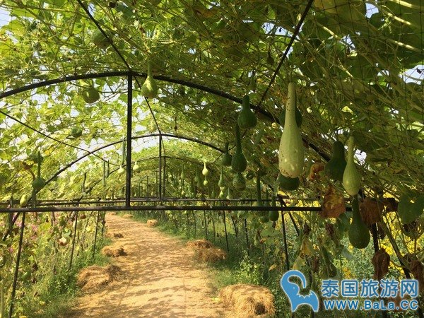 金汤普森农场Jim Thompson Farm 泰国空气最好的欧式农场 一年只开放一个月