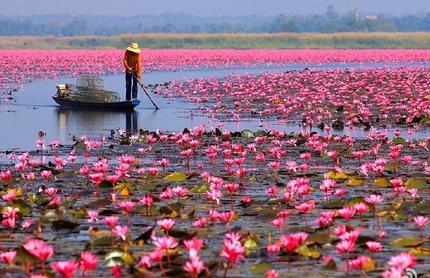 泰国乌隆府红莲湖赏花季开始啦    来场红色之旅吧