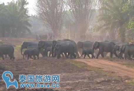 泰国尖竹汶府野象树林觅食地成新景点