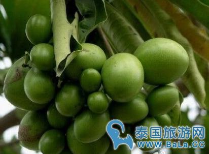 河南截获曼谷街头海檬树种    酷似芒果却是穿肠毒药