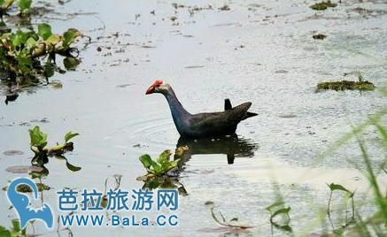 泰国乌隆红莲湖发现濒危动物瘤鸭