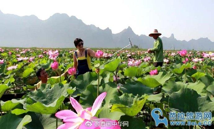泰国三百峰国家公园粉色荷花盛开美呆了
