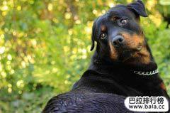 世界最凶十大狗排名,世界十大犬类排行榜