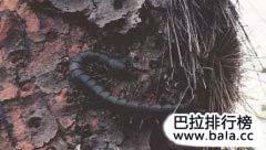 世界上十大巨型蜈蚣排行榜前十位