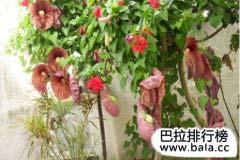 世界上十大最臭的花排名,十种气味难闻的鲜花