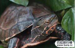 世界十大名龟排行榜 哪些是排名最漂亮的龟