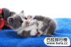 世界十大名猫排行榜,世界上最贵的猫排名