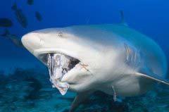 世界十大最危险鲨鱼 大白鲨仅仅排名第二