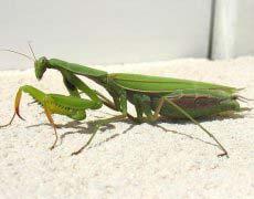 世界最美昆虫排行榜,螳螂居然排第一
