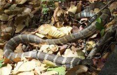 世界上体型最大的毒蛇——过山峰毒蛇