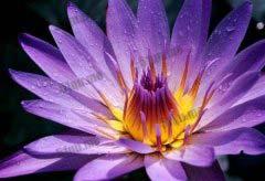 世界上十大最稀有的花大盘点,睡火莲登榜第一