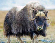 什么动物最耐寒?世界上最耐寒的十大动物排名