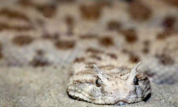 世界十大致命毒蛇排行榜: 一口毒液可杀100人!