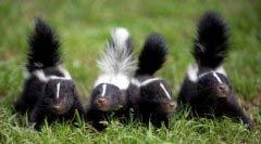 盘点世界上最臭的十大动物,臭鼬排第一实至名