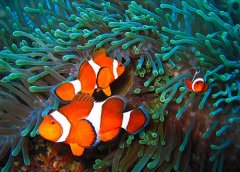 海水小丑鱼寿命多长缸里养小丑鱼能活多久