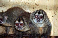 盘点世界上十大最珍稀猴子 中国金丝猴最漂亮