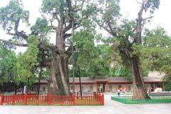 中国最珍贵的三棵树,你知道在哪里吗?