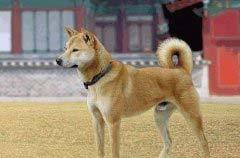 世界十大忠诚狗排行榜 中华田园犬排名榜首