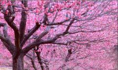 中国最美十大桃花观赏地 上海南汇地区上榜单