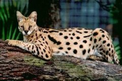 世界十大最名贵的猫,世界名贵猫咪排名