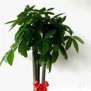 家里摆什么植物最旺宅 十大招财旺宅的植物排行