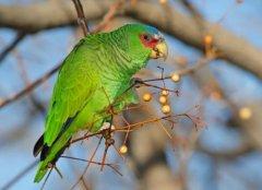 世界上什么鸟最长寿?亚马逊鹦鹉活了104岁