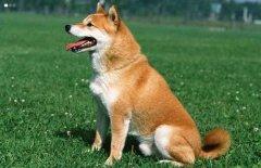 最耐热的十种宠物狗,你家的狗狗上榜没?