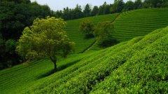 云南六大茶山是哪几个 易武山排第一位