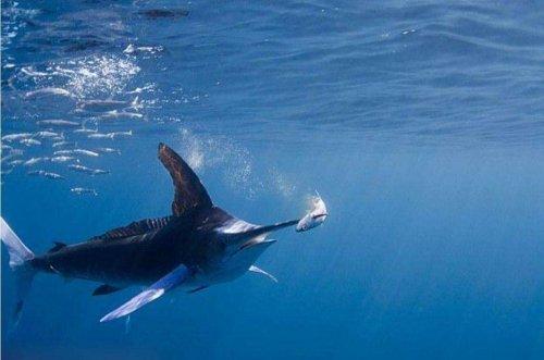世界上速度最快的鱼:旗鱼速度109千米/小时