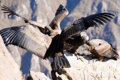 世界上飞得最高的鸟排名,黑白兀鹫得冠军!