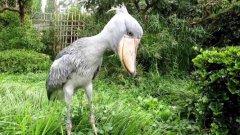 世界上10大长相最怪异的鸟,你认识几种呢?