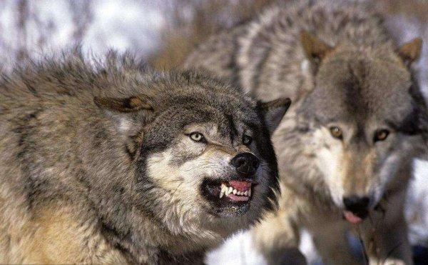 世界体型最大的犬科动物,北美灰狼现濒临灭绝
