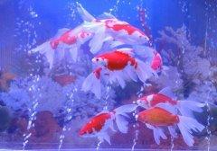 新手适合养哪种金鱼?十大最好养的金鱼排名