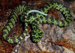世界上最贵的毒蛇——莽山烙铁头蛇价值百万