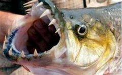 世界上最大的食人鱼有多大 黄金猛鱼重50千克
