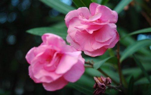 常见的有毒植物有哪些 推荐10种常见但有毒植物