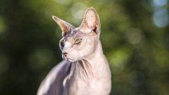 世界上最丑的猫咪——斯芬克斯猫