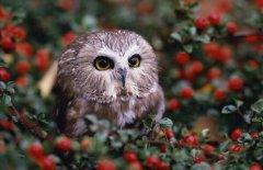 猫头鹰吃什么食物?它们主要以鼠类为食