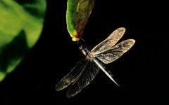 蜻蜓为什么要点水?原来是为了繁衍后代!