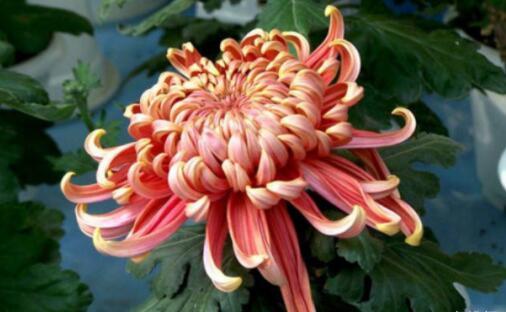 菊花哪个品种好?十大最名贵的菊花品种排名