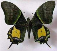 盘点世界八大名贵蝴蝶,第一种蝴蝶你见过吗?
