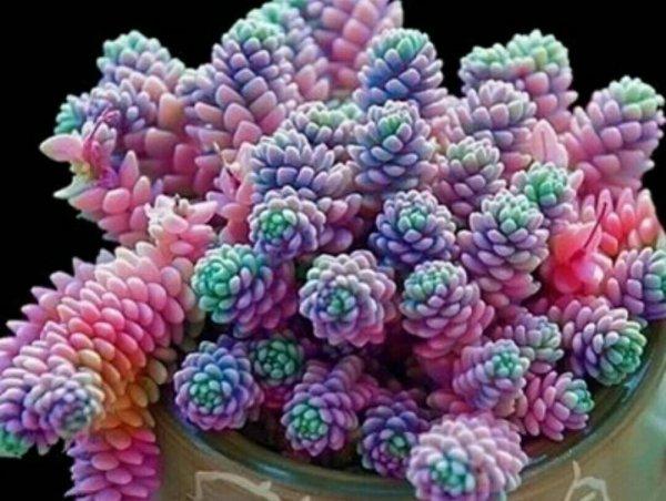 十大最漂亮的多肉植物,姬星美人榜上有名