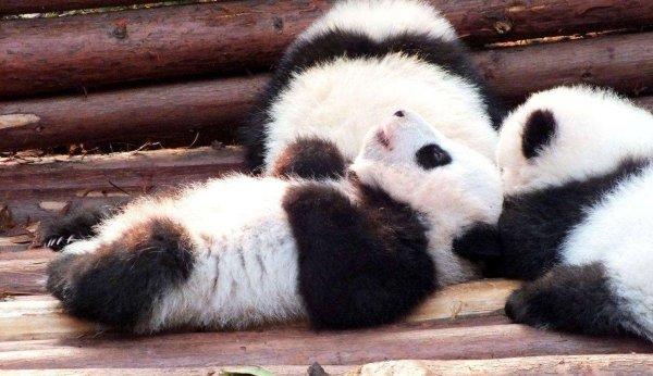 全球最小的熊猫幼仔,体重42.8克比鸡蛋还轻