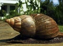 世界上最大的蜗牛有多大?长30厘米比乌龟还大