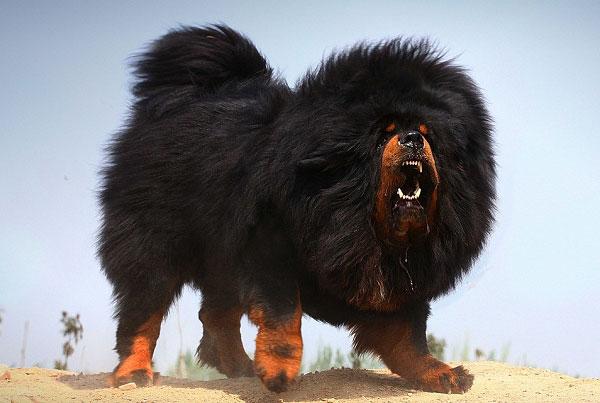 世界十大顶级名犬排名,第一名是中国藏獒