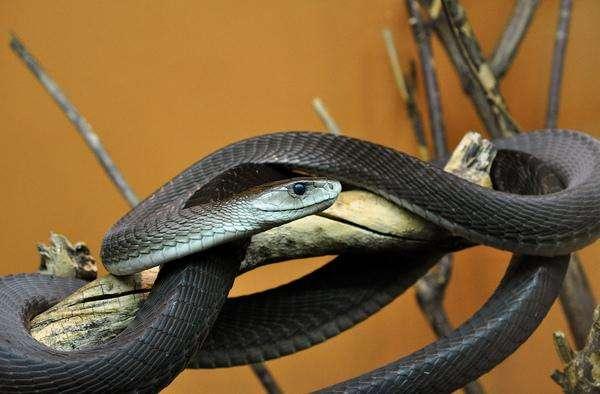 世界上速度最快的蛇是什么蛇?黑曼巴蛇