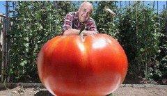 世界上最重的西红柿,重8斤可供10人食用