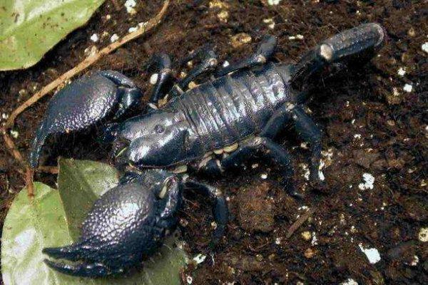世界上最大的蝎子有多大?帝王蝎可达到40厘米