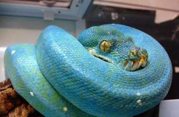 世界上最罕见最珍稀的蛇Top10,蓝血蛇价值连城